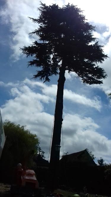 Cedar Removal 2
