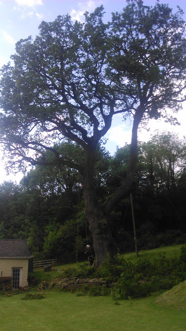 Oak Tree Reduction