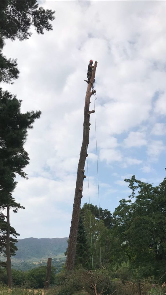 Pine Removal 2